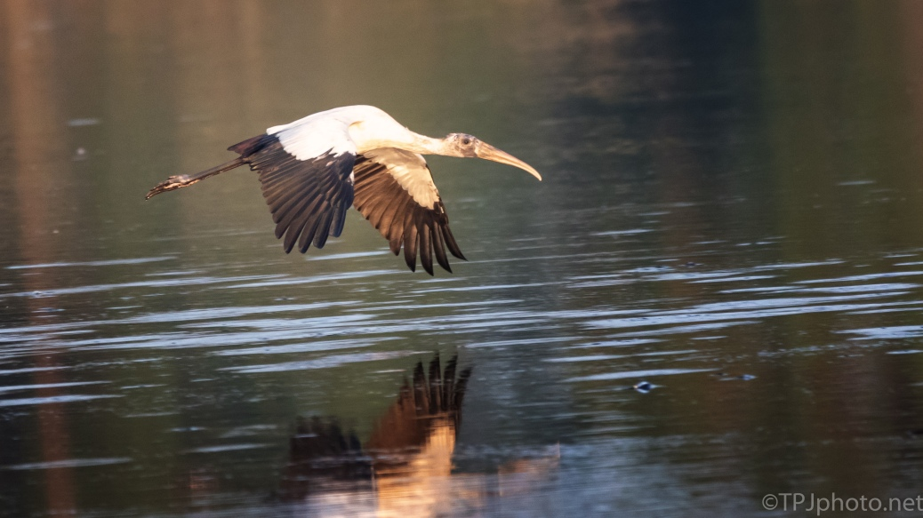 Morning Fly By, Wood Stork - click to enlarge