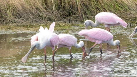 Spoonbills Finding A Feast - click to enlarge