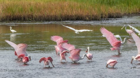 Spoonbills And Egrets Flocking - click to enlarge