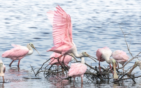 Making Him Move, Grabbing His Leg, Spoonbills - click to enlarge