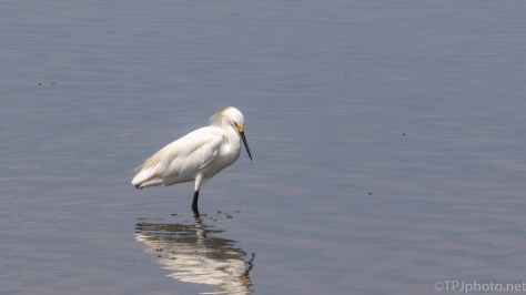 Snowy Egret Posing For Us - click to enlarge