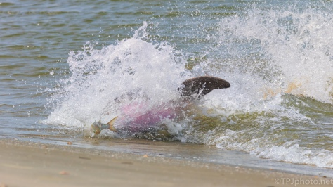 Chasing Right Behind, Dolphin - click to enlarge