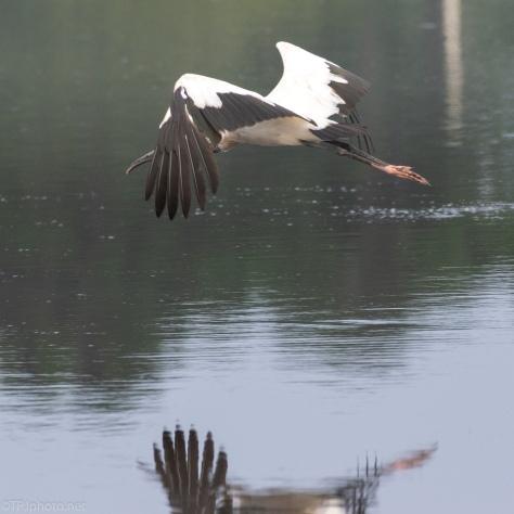 Big Acrobats In Flight, Wood Storks - click to enlarge