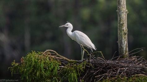 Little Blue Heron, Juvenile - click to enlarge