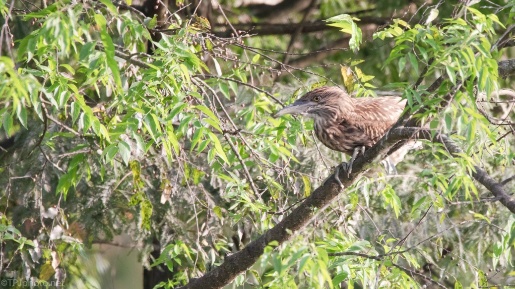 Young Black-crowned Night Heron - click to enlarge