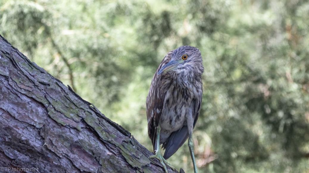 Juvenile Night Heron Staring Back - click to enlarge