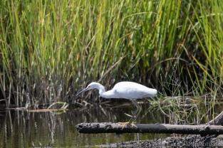 Snowy Egret Stalking - click to enlarge