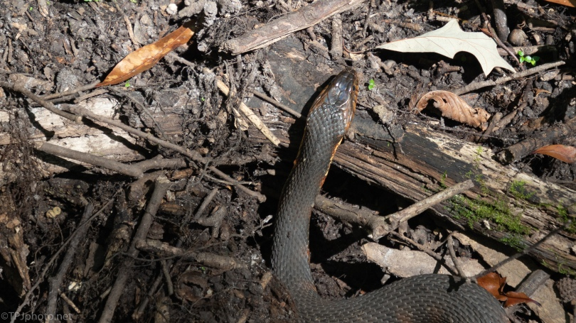 Water Snake - click to enlarge