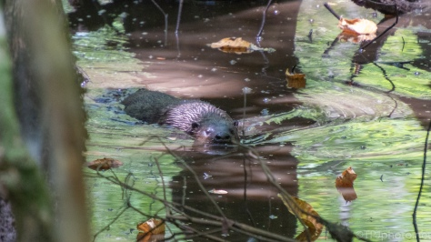 River Otter In A Swamp - click to enlarge