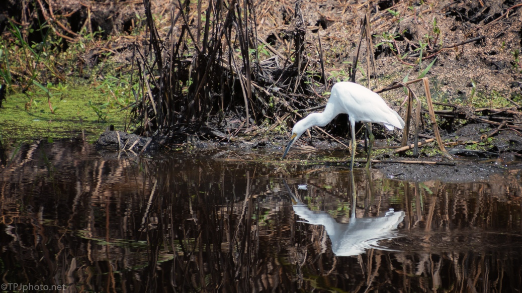 Egret And His Reflection - click to enlarge