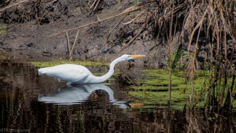 A Successful Hunt, Egret - click to enlarge