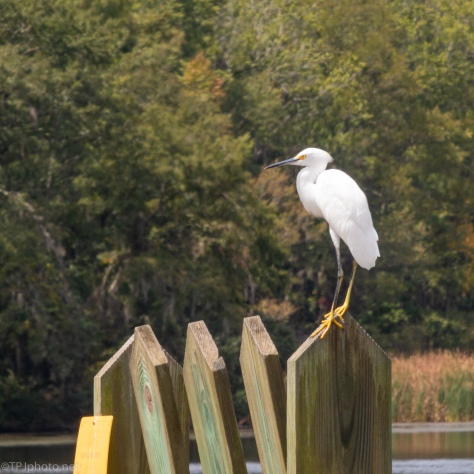 No Fishing, Snowy Egret - click to enlarge