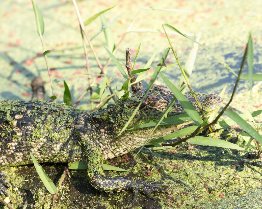 Little Gator All Covered - click to enlarge