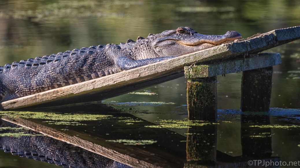 Alligator And Reflection - click to enlarge