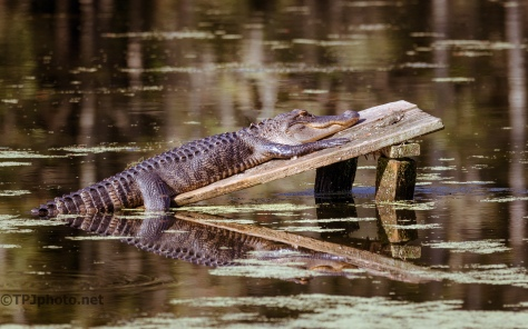 Looks Ridiculous, Alligator - click to enlarge