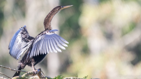 Anhinga Still At The Rookery - click to enlarge