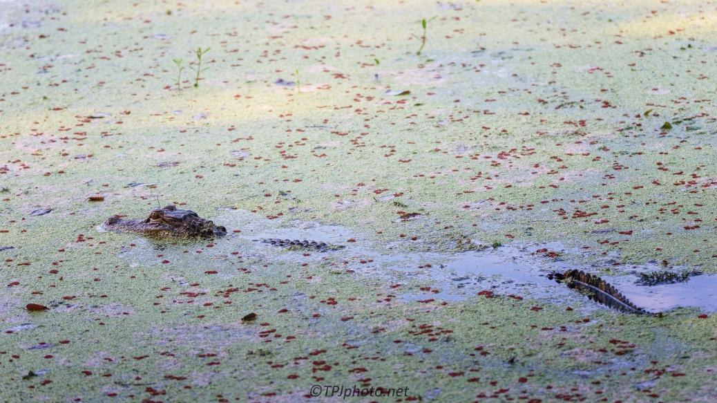 Size Surprise, Alligator - click to enlarge