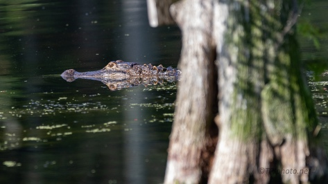 Slinking By, Alligator - click to enlarge