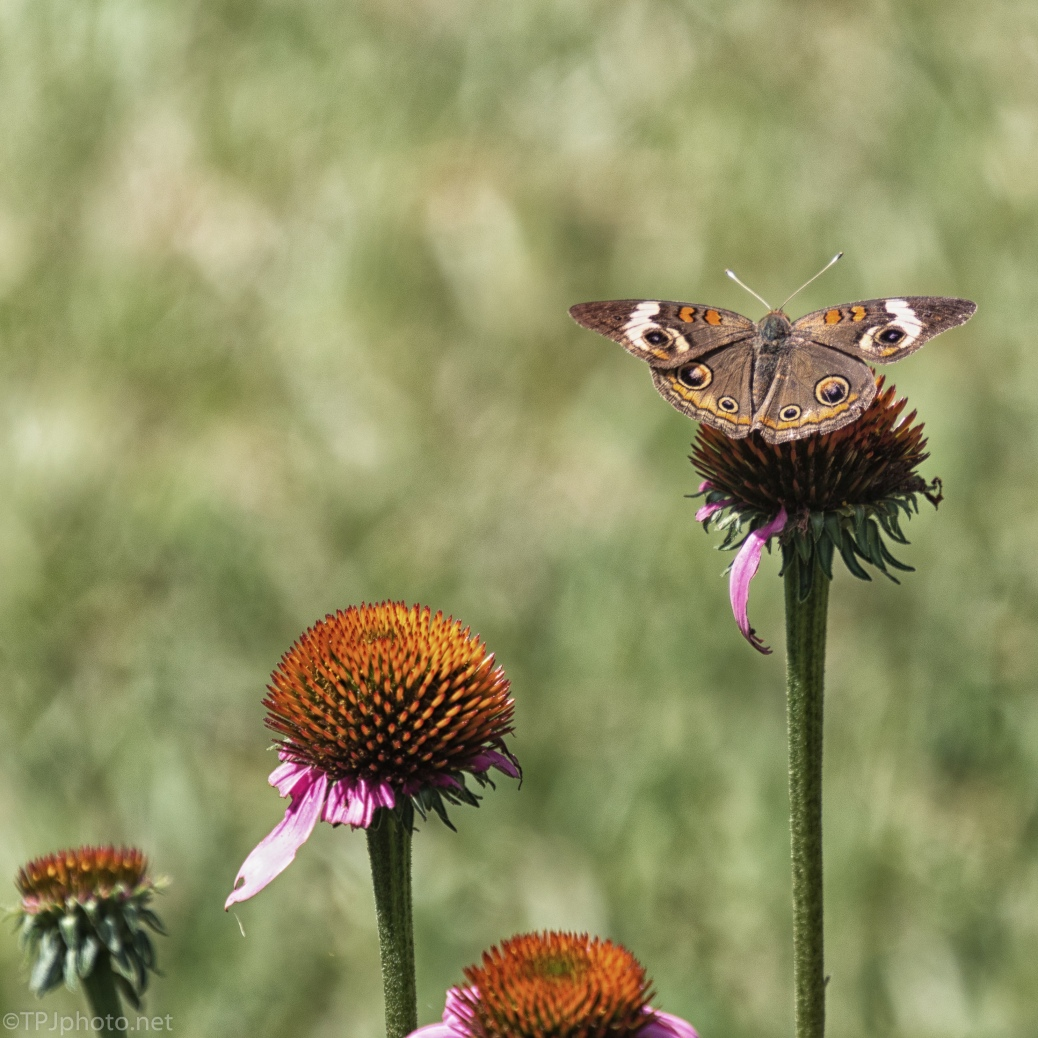 Blending In, Butterfly - click to enlarge