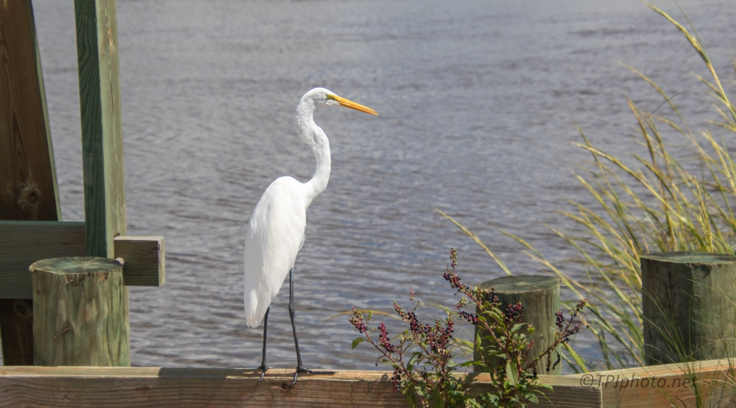 Sitting By A River, Great Egret - click to enlarge