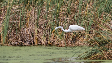 Great Egret, Frozen In Place - click to enlarge