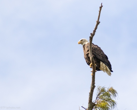 Bald Eagle Watching A Marsh - click to enlarge