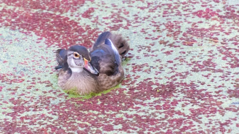 And Then There Was One, Wood Duck - click to enlarge