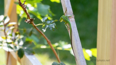 Not Cooperating, Green Anole - click to enlarge