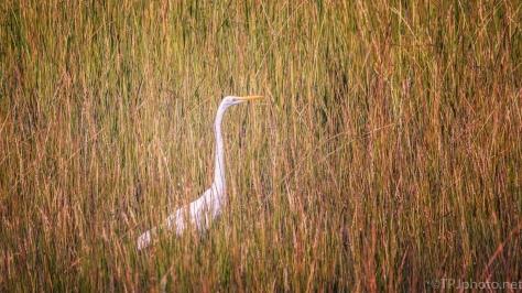 Great Egret Hidden In A Salt Marsh - click to enlarge