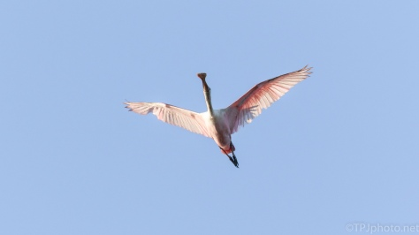 Pink Going By, Spoonbills - click to enlarge