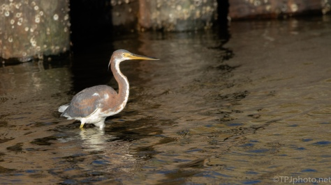 Tricolored Heron Fishing The Trunk - click to enlarge