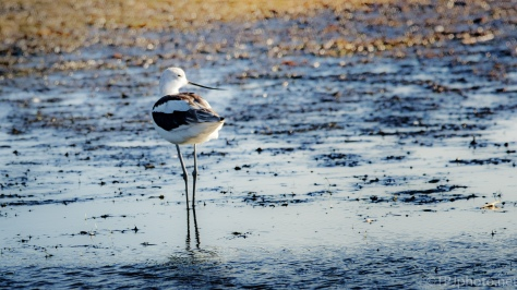 American Avocet, All Legs - click to enlarge