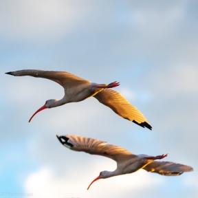 Golden Ibis