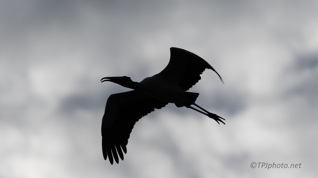 It Was Dark, Wood Stork - click to enlarge