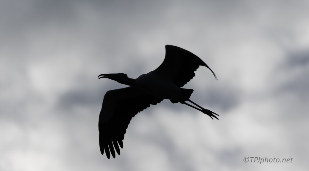 It Was Dark, Wood Stork - click to enlarge