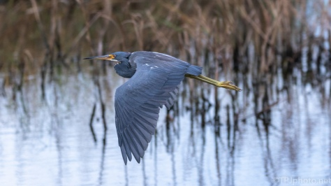Tricolored Heron, Surprised Me - click to enlarge