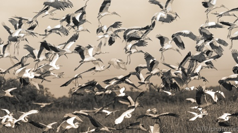 Working In Sepia, Marsh Birds - click to enlarge