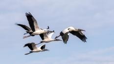 Wood Storks, A Flock