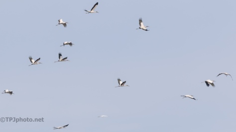Wood Storks Everywhere, Up There - click to enlarge