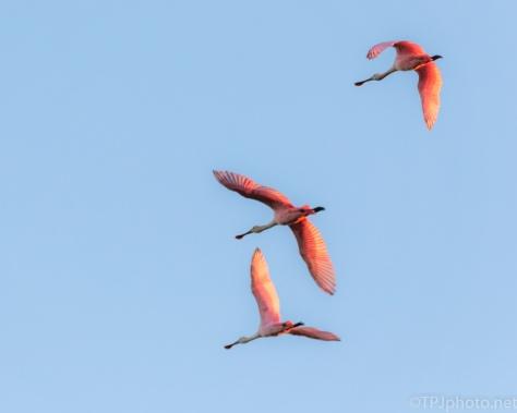 Sunrise Shining On Pink Birds, Spoonbills