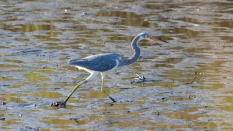 Tricolored Heron In The Mud