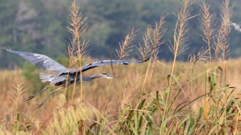 Suddenly A Great Blue Heron - click to enlarge