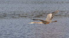 Great Blue Heron, Over An Open Pond