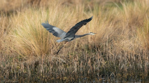 Great Blue, A Marsh Landing - click to enlarge