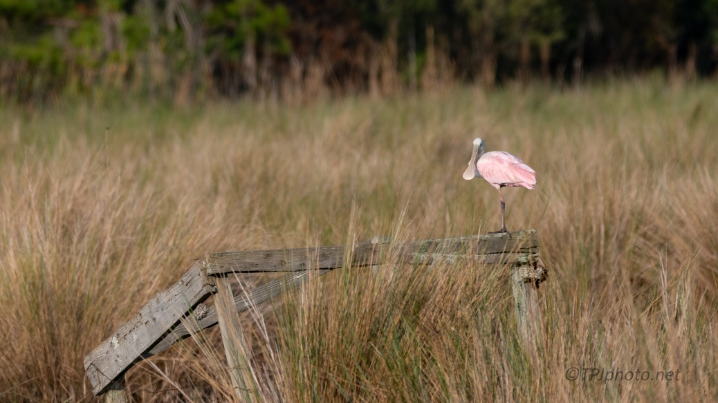 Spoonbill (Balance Beam) - click to enlarge