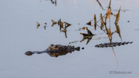 Floating And Watching, Alligator - click to enlarge