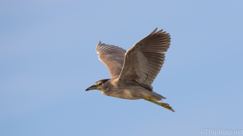 Black-crowned Night Heron In Flight - click to enlarge