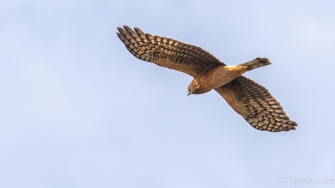 Northern Harrier - click to enlarge