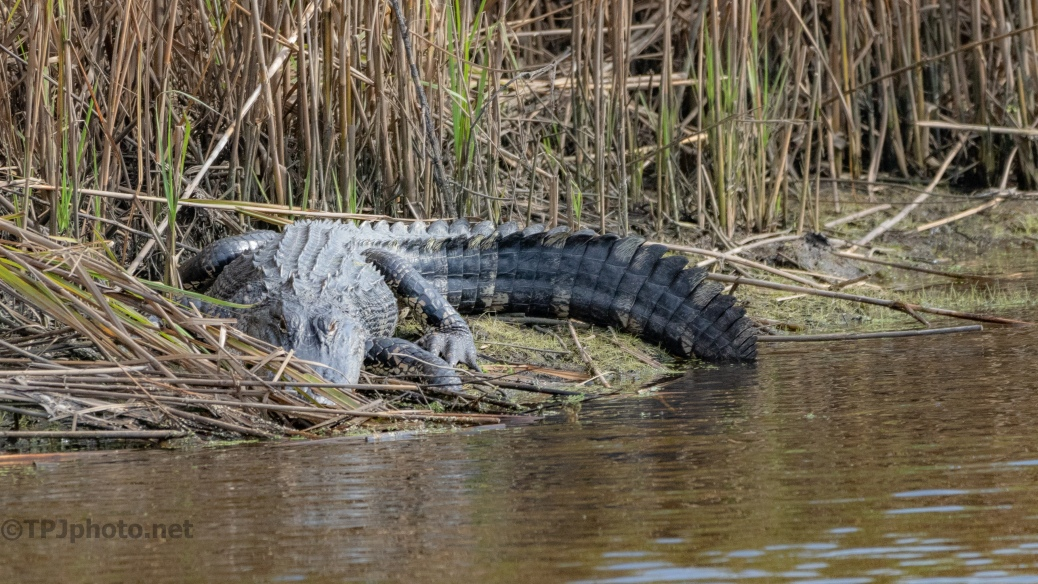 When Photographing Alligators Look Around - click to enlarge