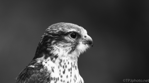 Saker Falcon - click to enlarge